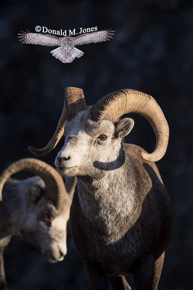 Stone-Sheep0178D