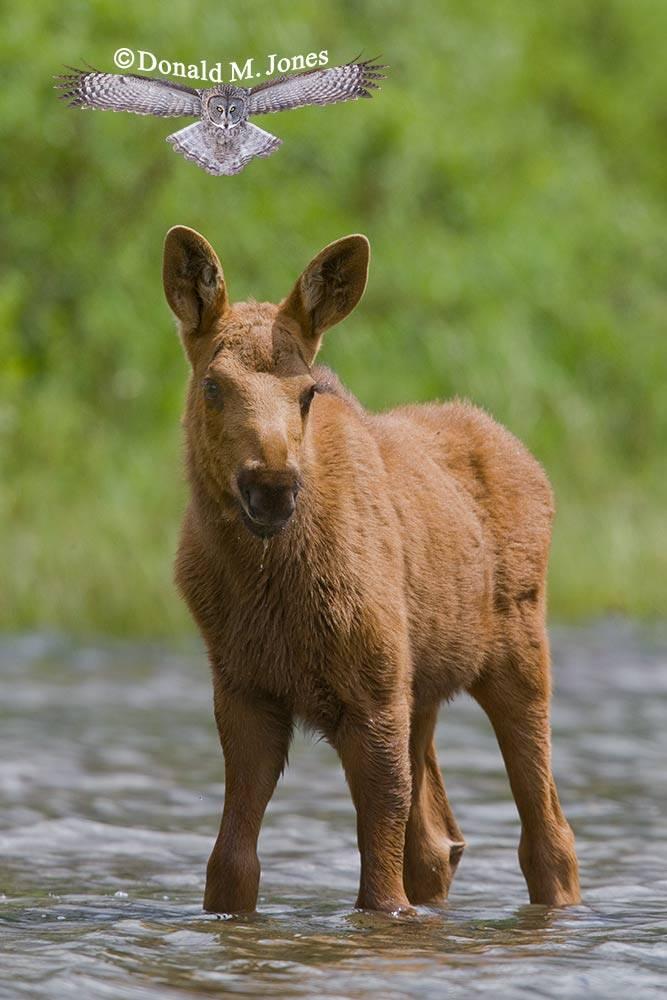 Moose02923D