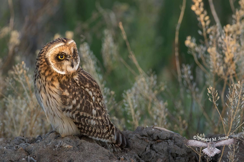 Short-eared-Owl0537D