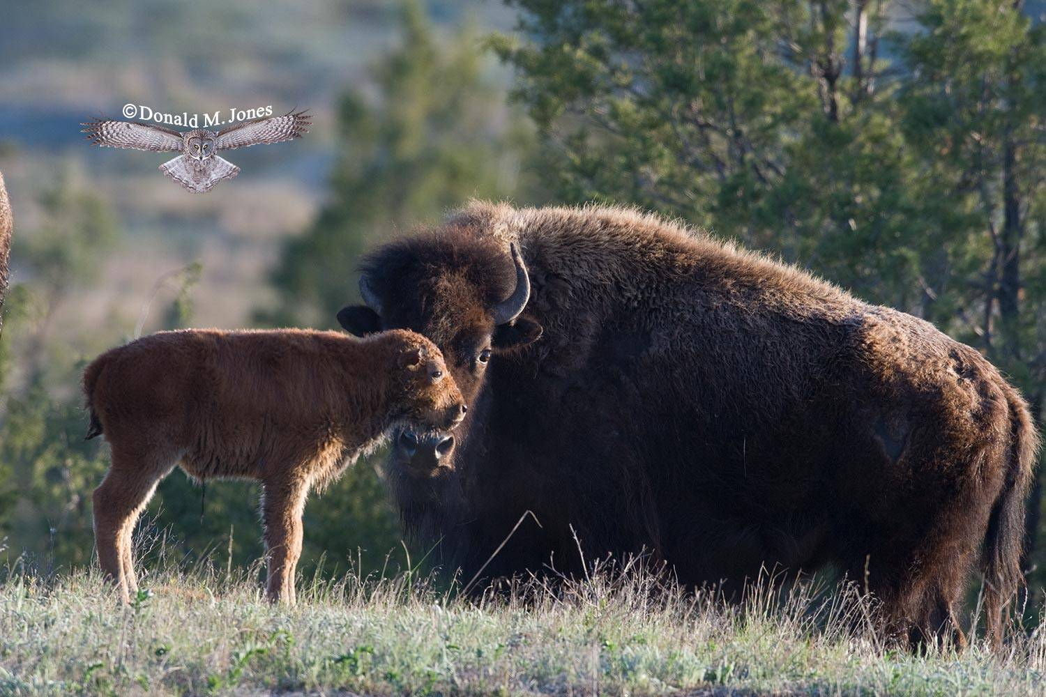 American-Bison01194D