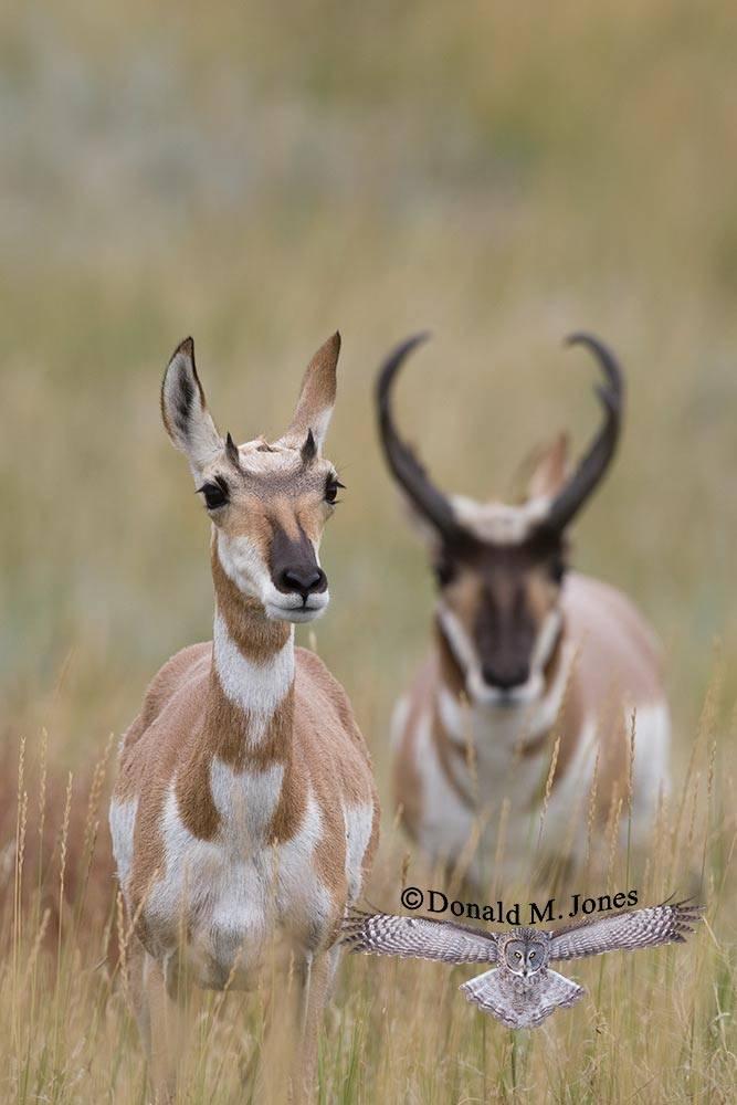 Pronghorn-Antelope03301D