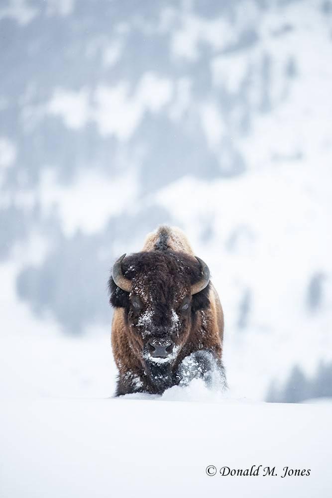 Bison2644D