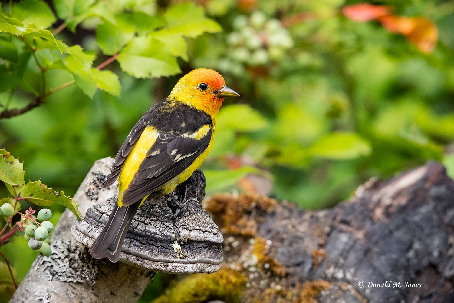 Western-Tanager0887D