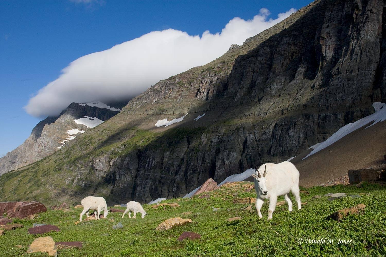 Mountain-Goat02038D