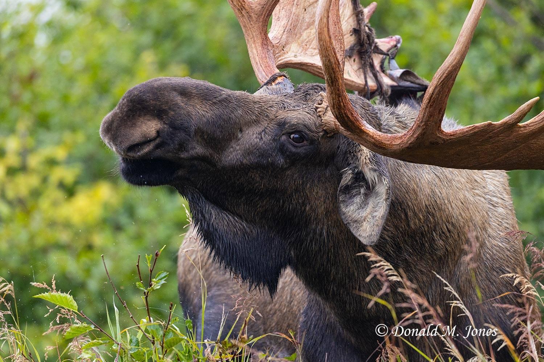 Moose07369D