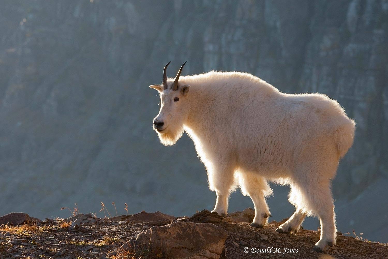 Mountain-Goat02076D