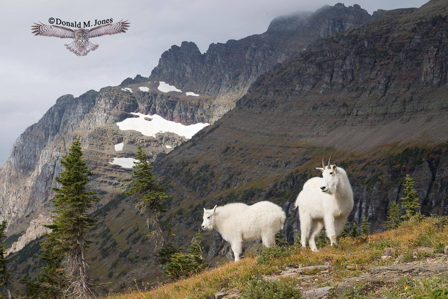 Mountain-Goat02170D