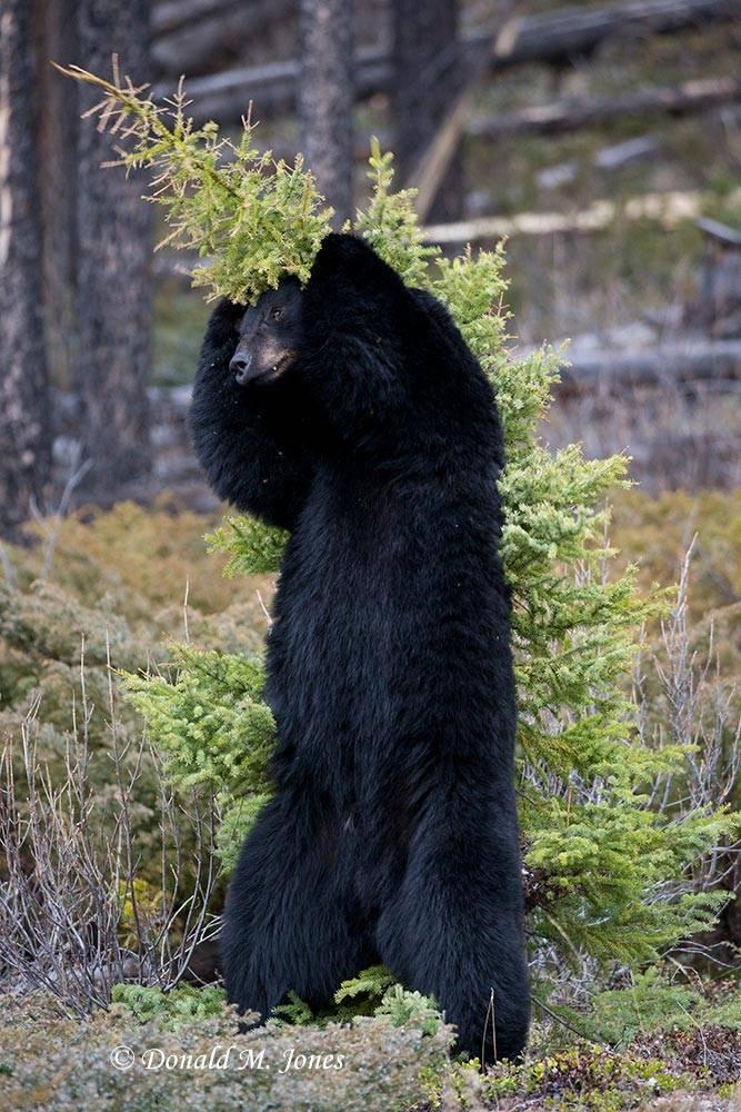 Black-bear06751D