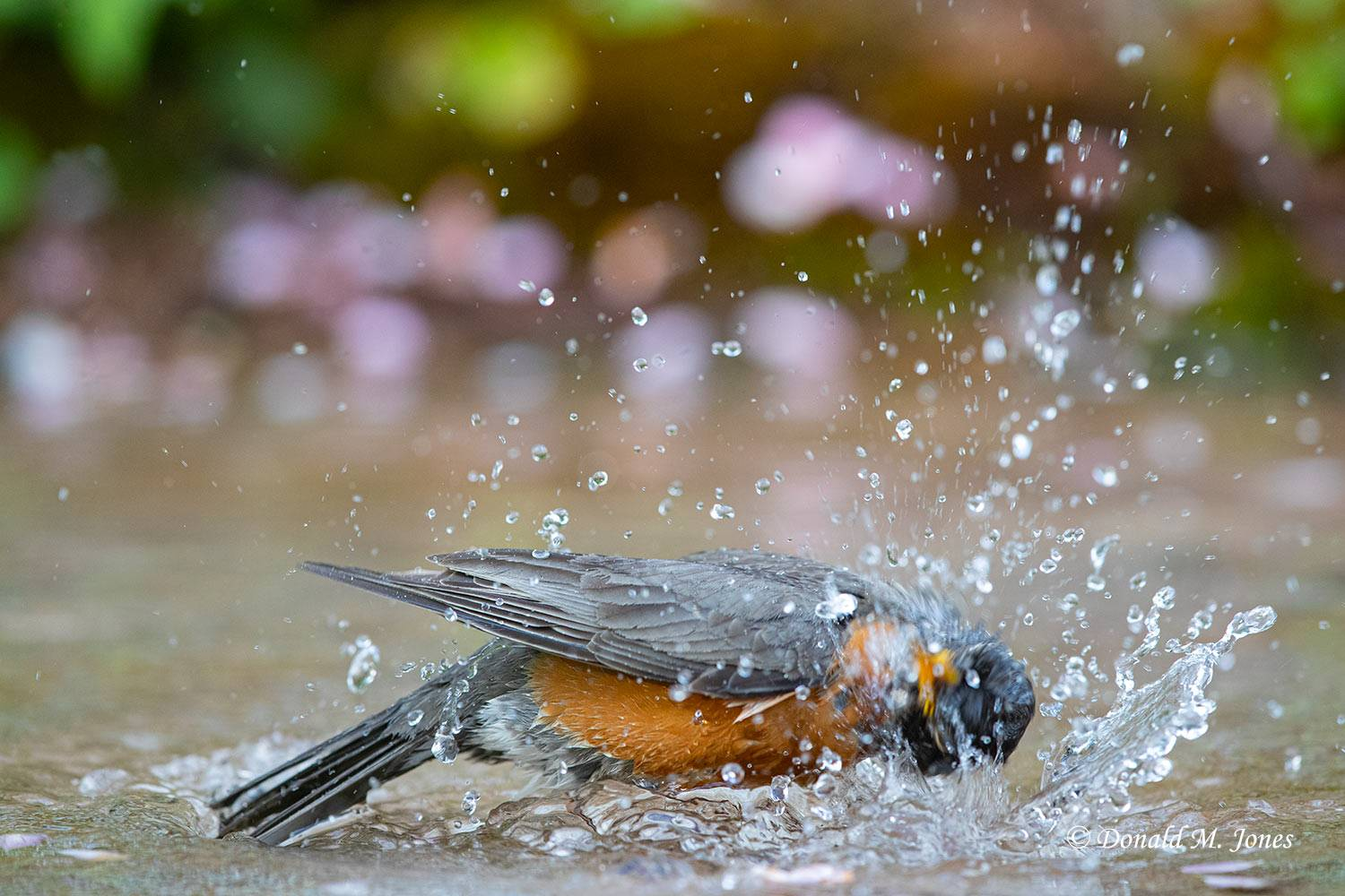 May 19, American Robin bathing