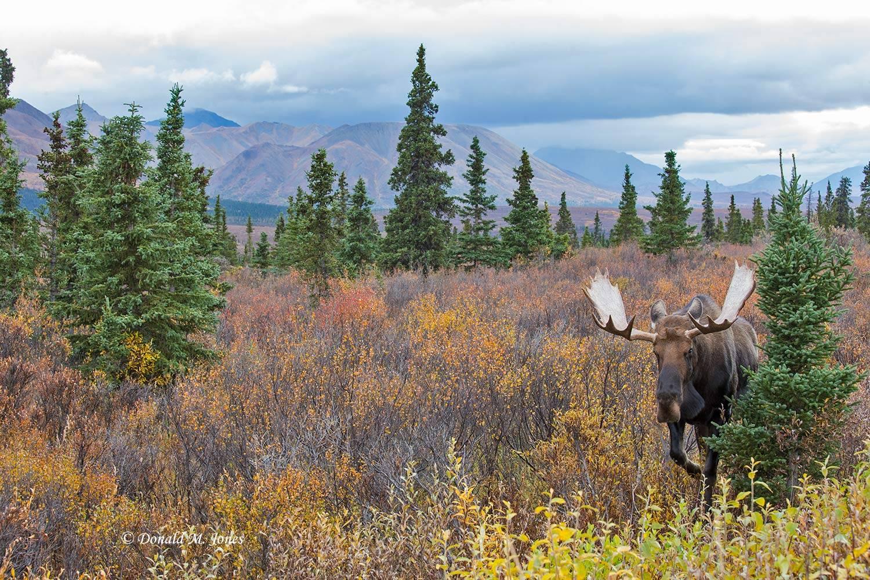 Moose06103D