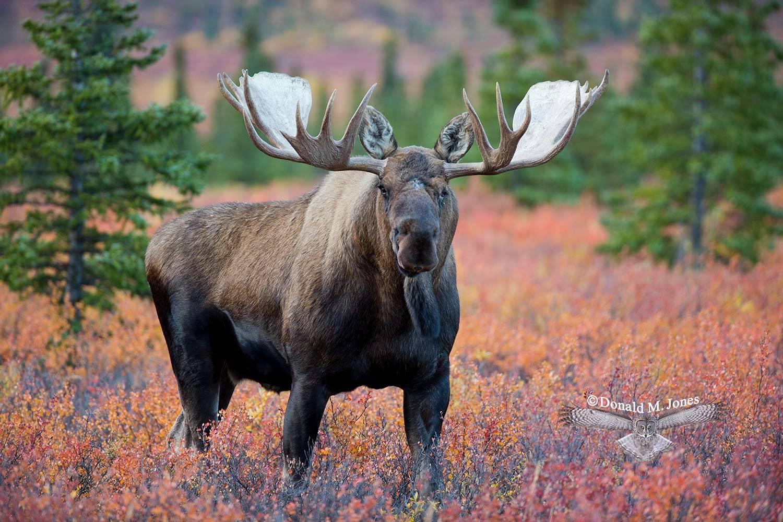Moose04520D