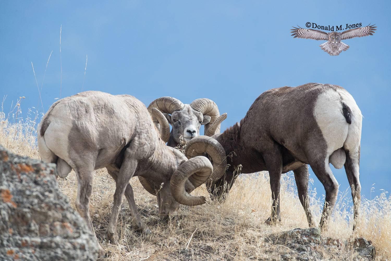 Bighorn-Sheep06188D
