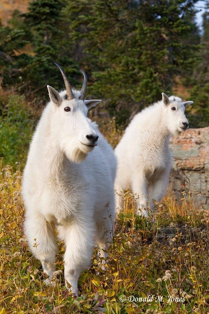 Mountain-Goat02314D