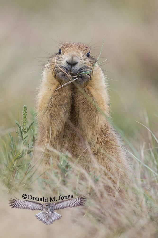 Black-tailed-Prairie-Dog0578D