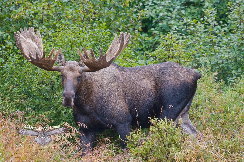 Moose03395D