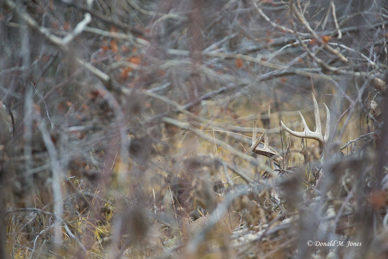 Whitetail-Deer48604D