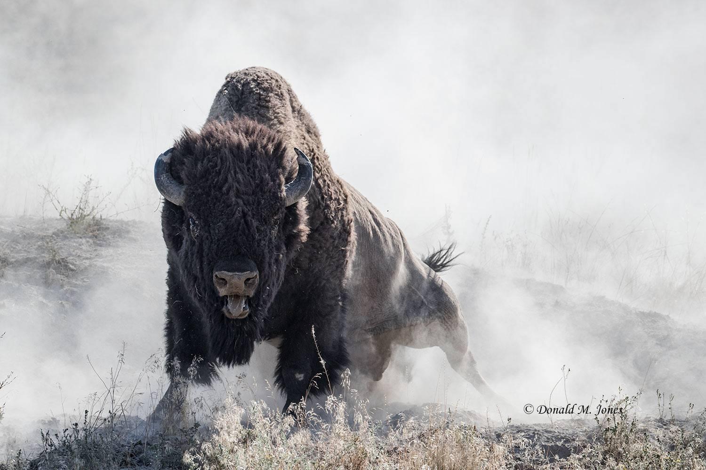 American-Bison02051D