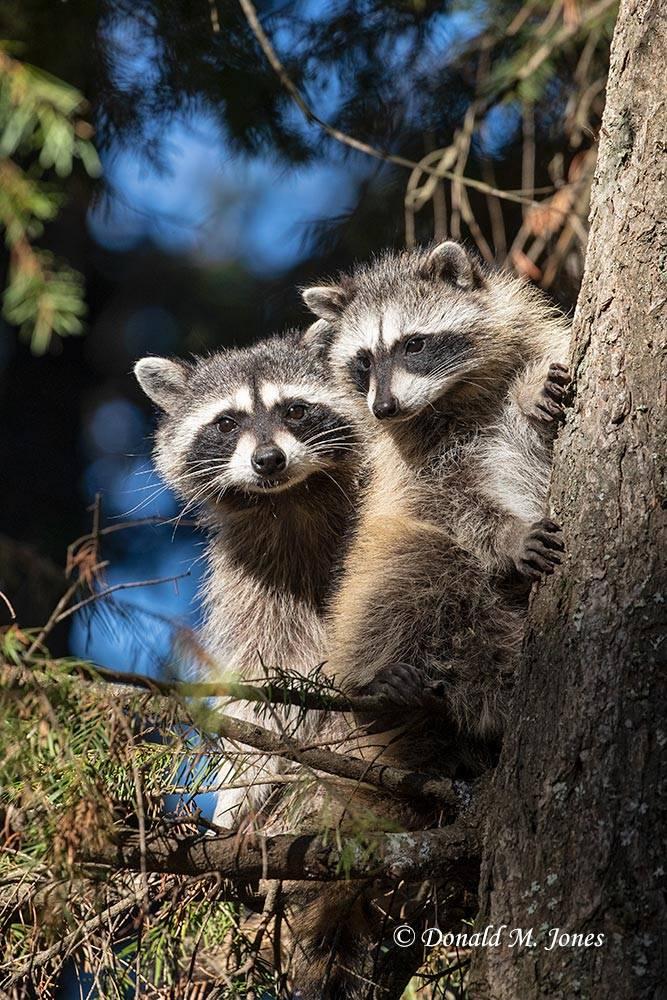Raccoon0201D