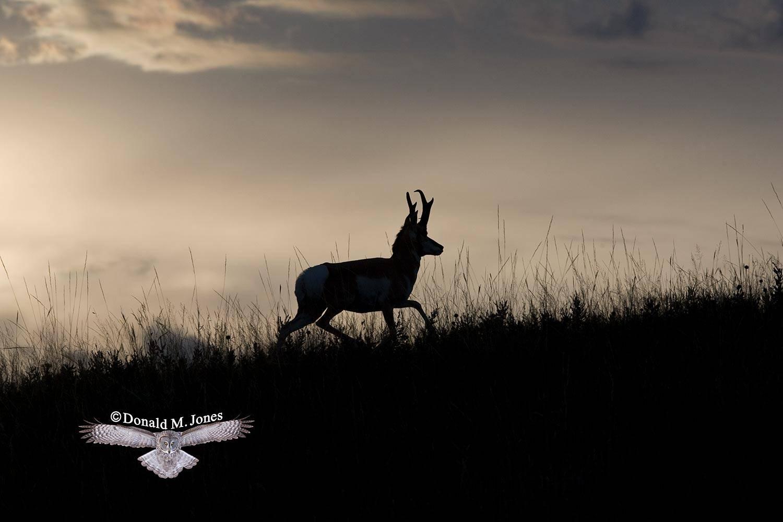 Pronghorn-Antelope03348D