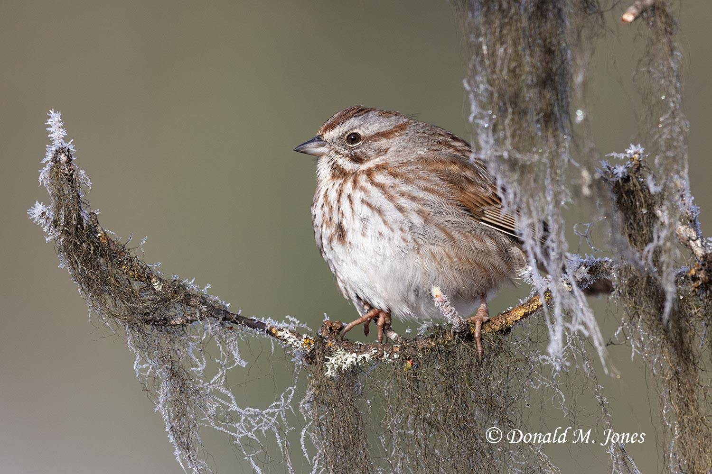 Song-Sparrow0623D