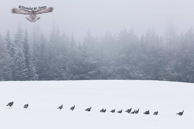 Wild-Turkey-(Merriams)11854D
