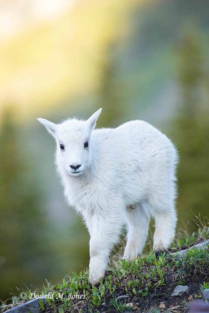 Mountain-Goat02873D