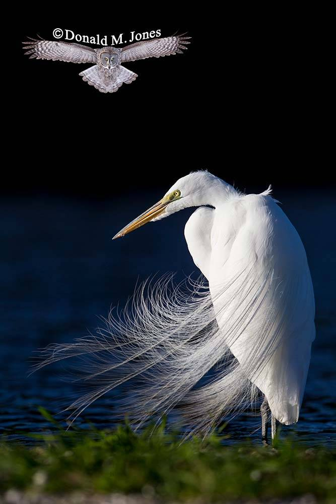 Great-Egret0481D