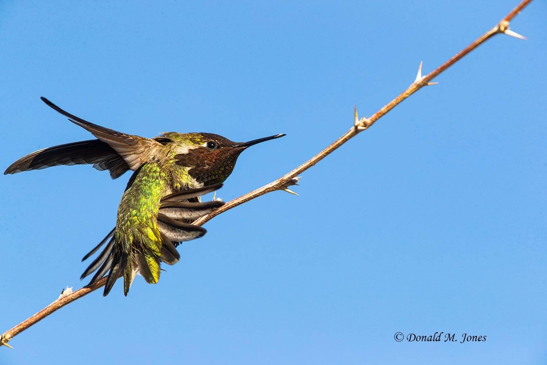 Anna's-Hummingbird0116D