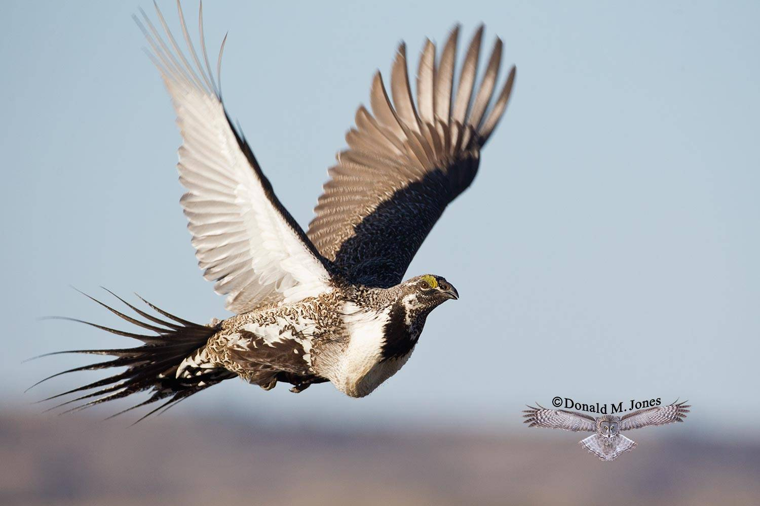 Greater-Sage-Grouse0877D