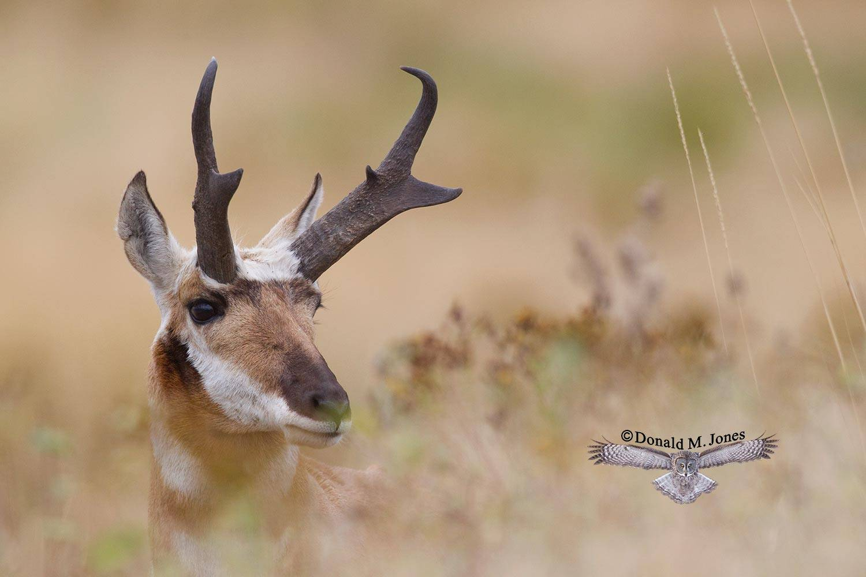 Pronghorn-Antelope03651D