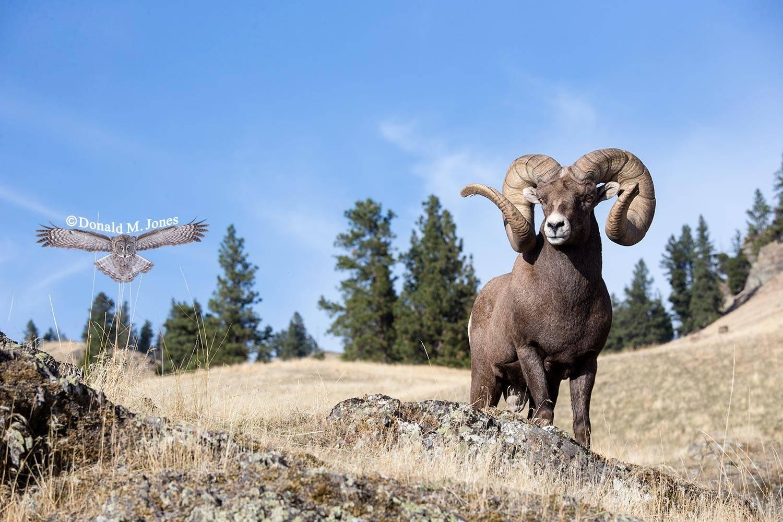 Bighorn-Sheep05891D