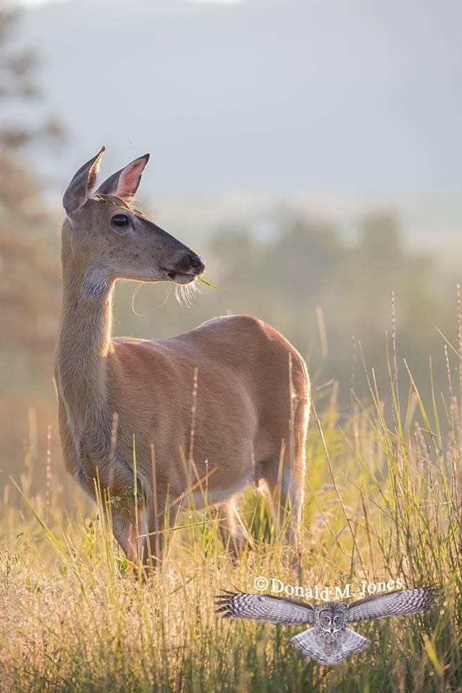 Whitetail-Deer57292D