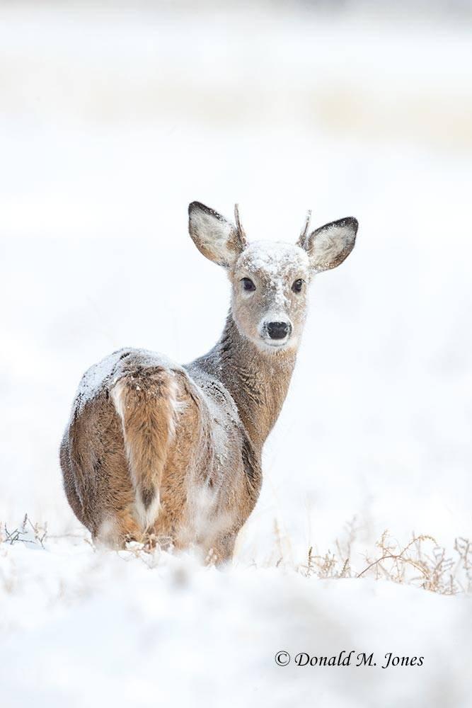 Whitetail-Deer59660D