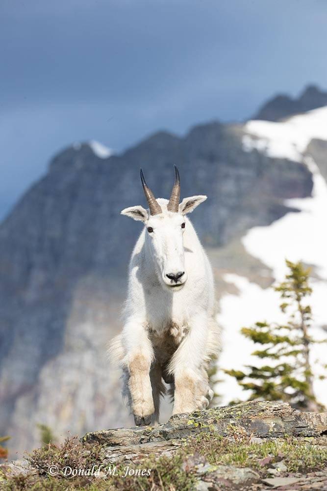 Mountain-Goat02891D