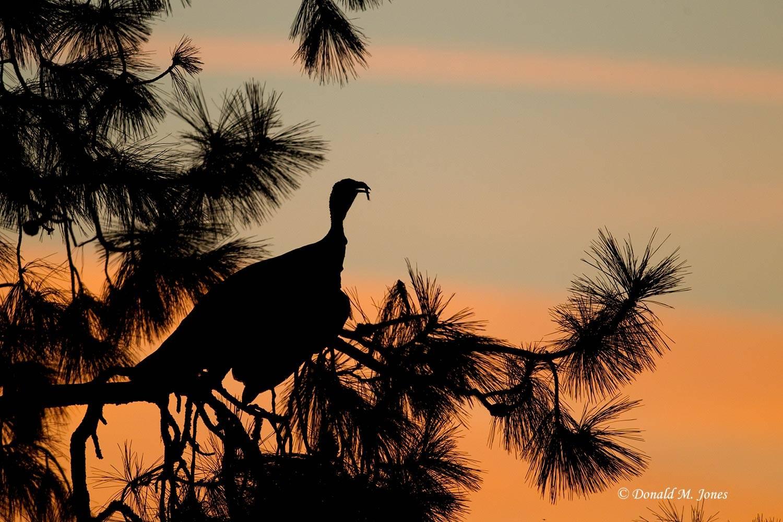 Wild-Turkey-(Merriams)10410D