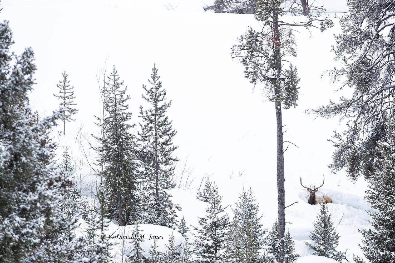 Elk-(Rocky-Mtn)26426D