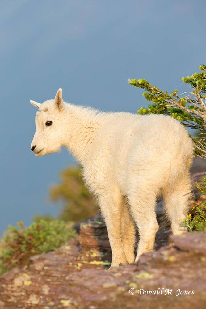 Mountain-Goat02847D