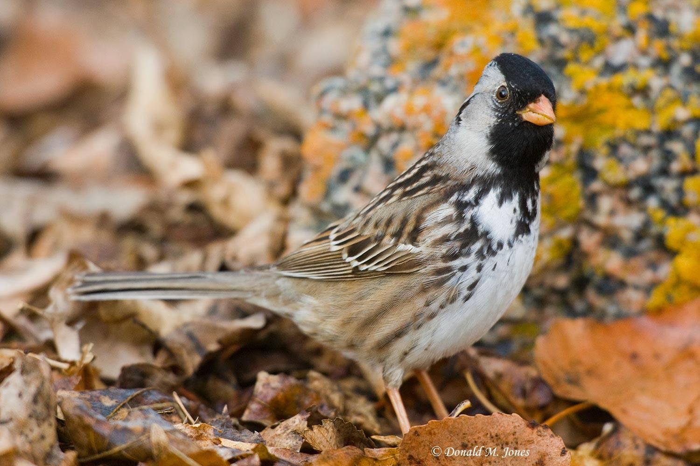 Harris-Sparrow0145D