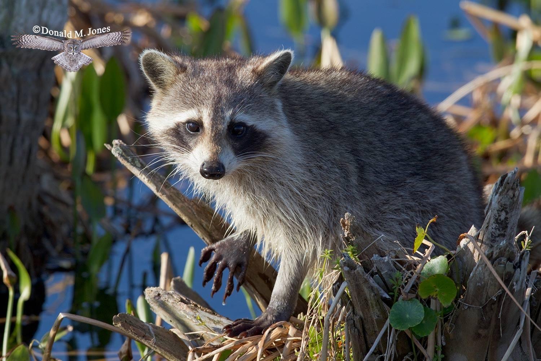Raccoon0121D