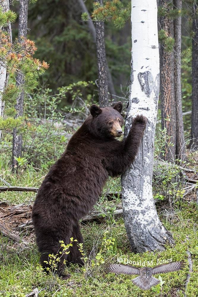 Black-Bear07499D