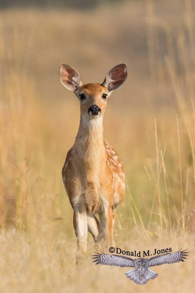Whitetail-Deer57505D