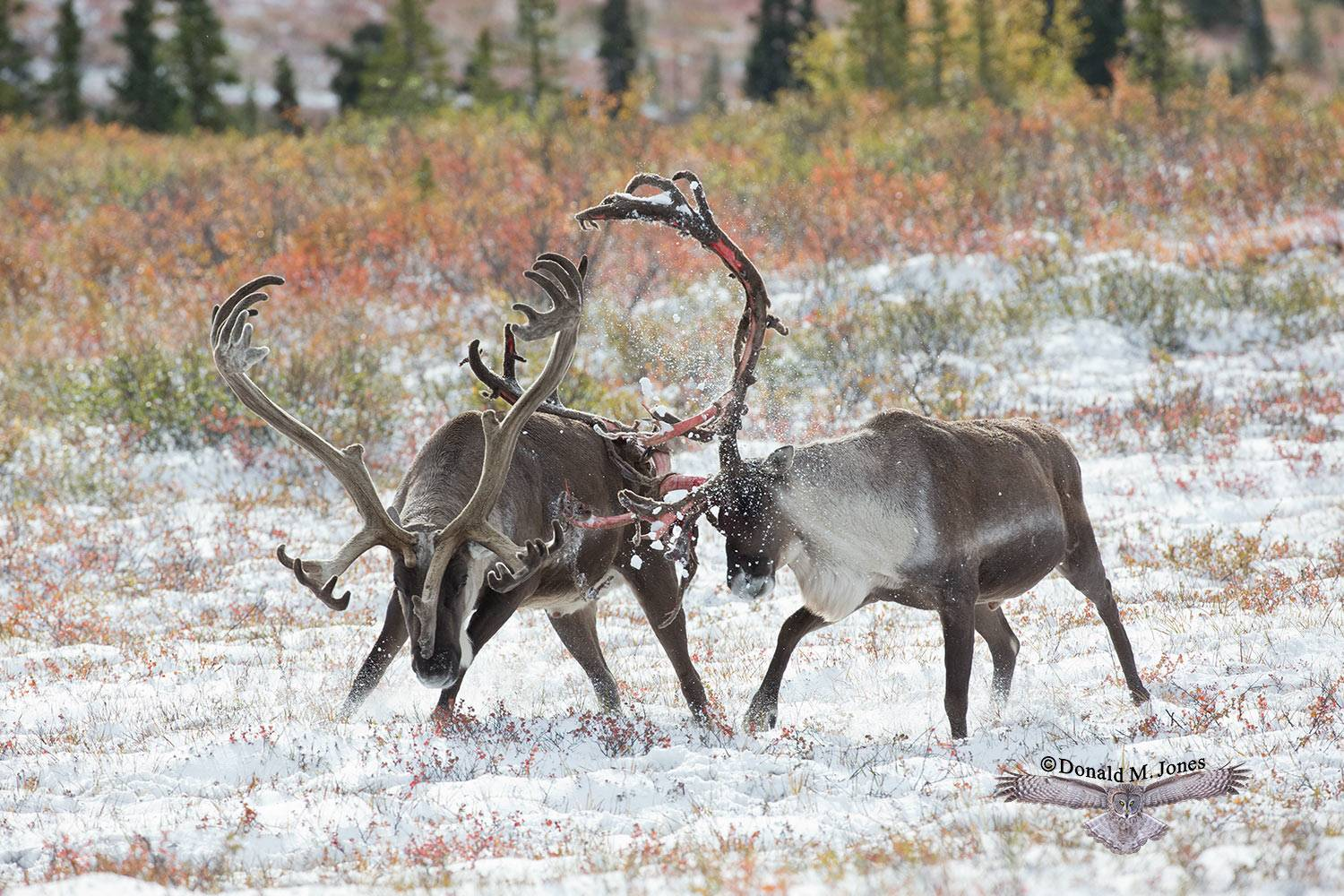 Barren-Ground-Caribou03432D