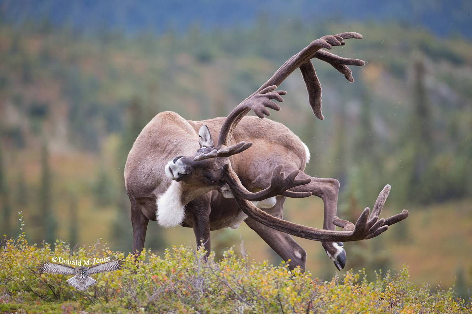 Barren-Ground-Caribou03354D