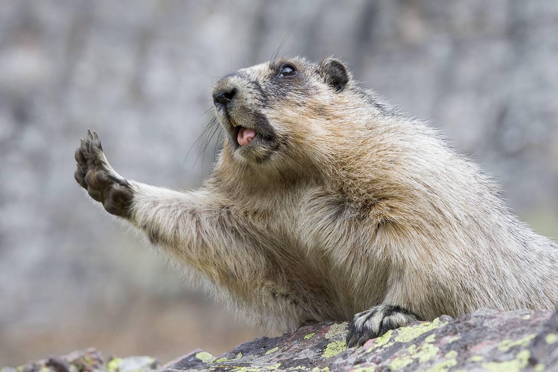 Hoary-Marmot0397D.jpg