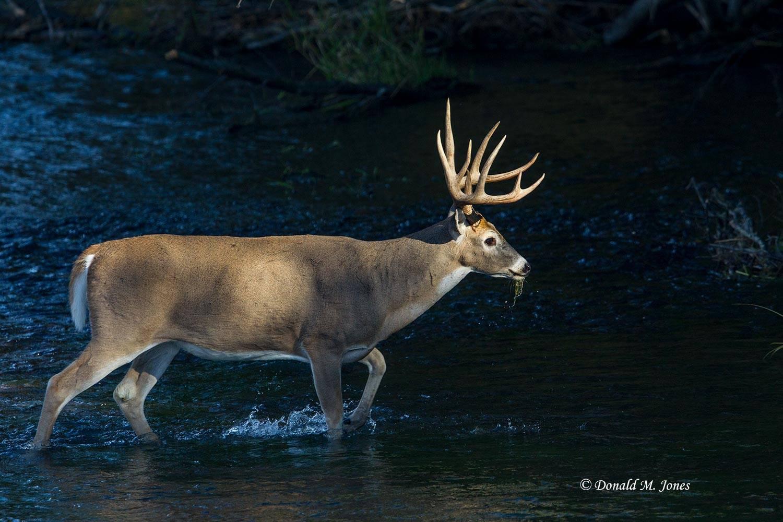 Whitetail-Deer52783D