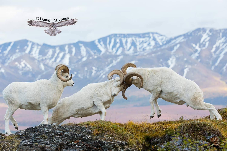 Dall-Sheep01938D