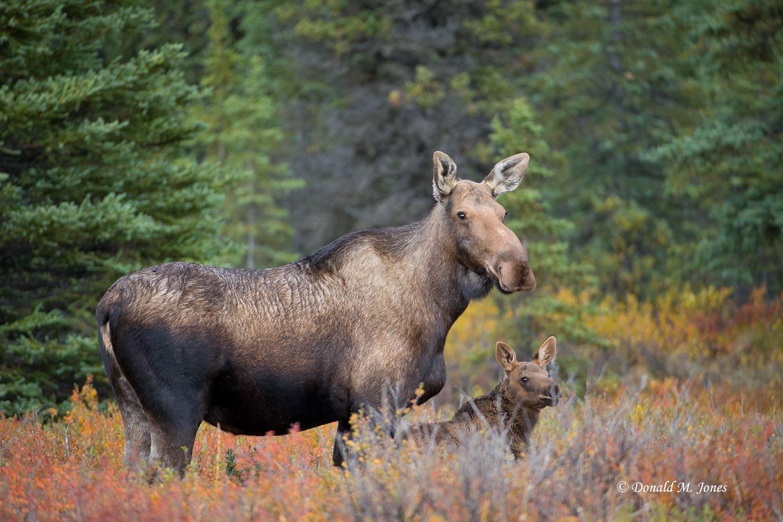 Moose05484D
