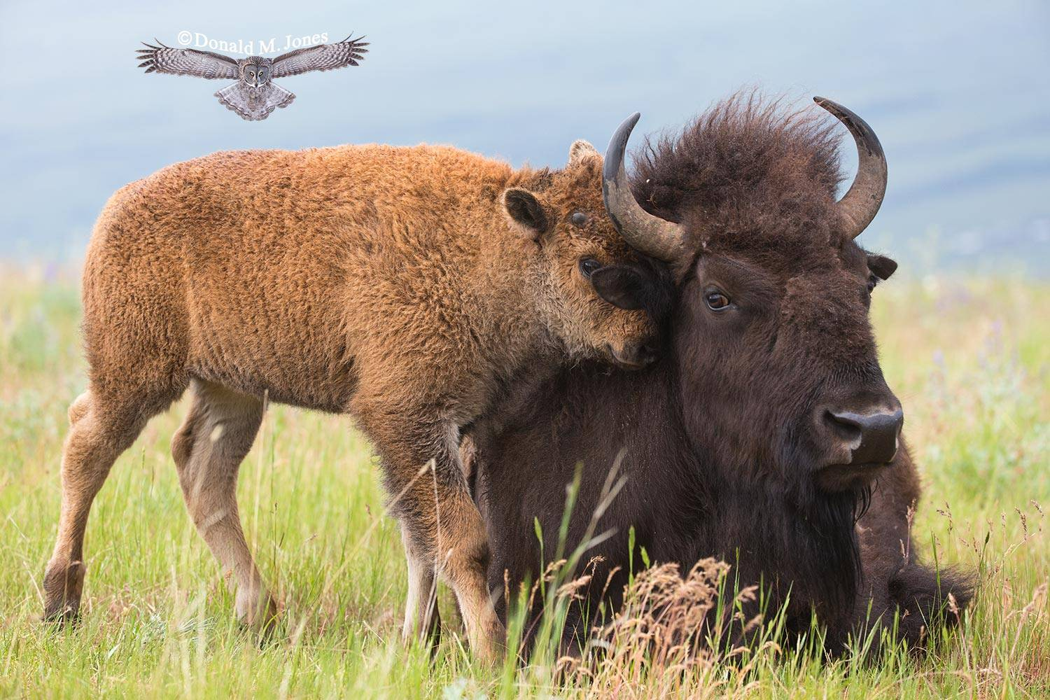 American-Bison01776D