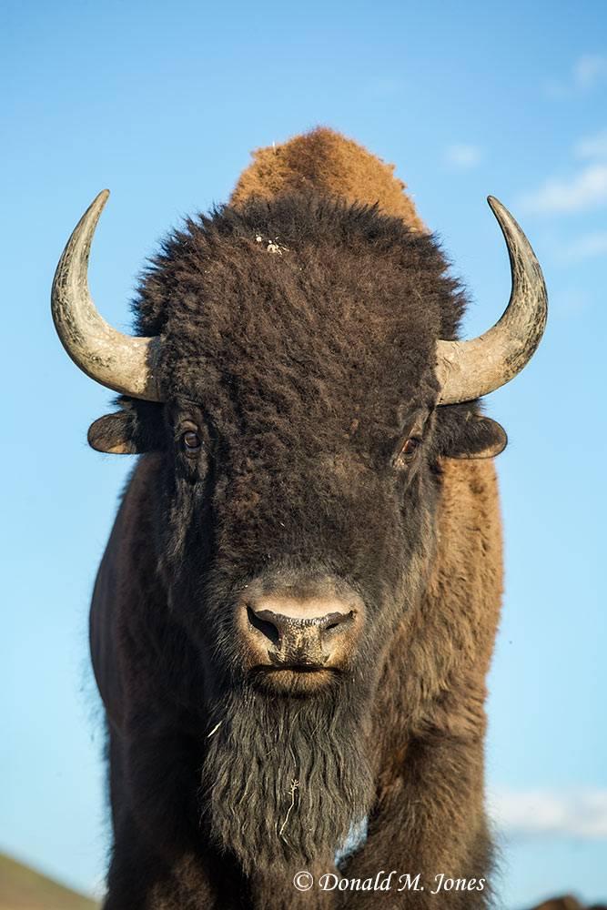 American-Bison02098D