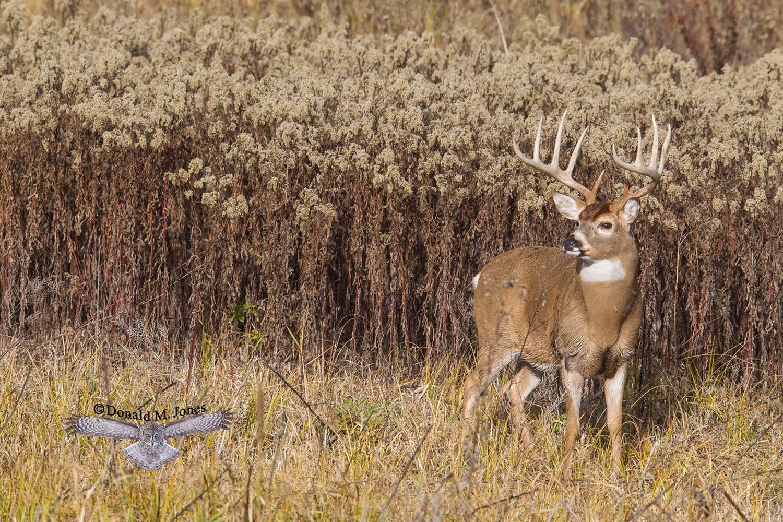 Whitetail-Deer54120D